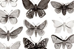 Melissa Shultz-Jones Illustration - melissa, shultz-jones, repeat pattern, surface pattern design, gift wrap, wrapping paper, butterflies, moths, b&w, black and white